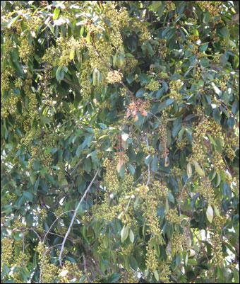 bath salts - khat tree